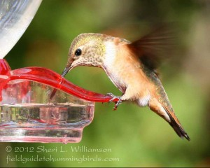Rufous at feeder