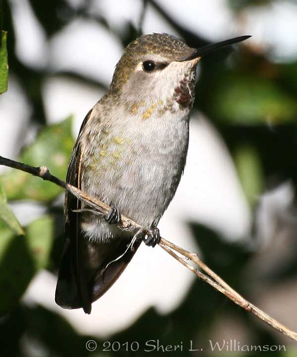 Female Anna's Hummingbird, Arizona.