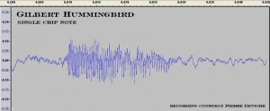 Gilbert hummingbird, waveform