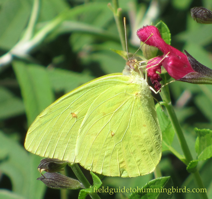 Littleleaf Sage with Cloudless Sulphur