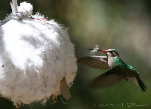 Female Broad-billed Hummingbird collecting nesting material