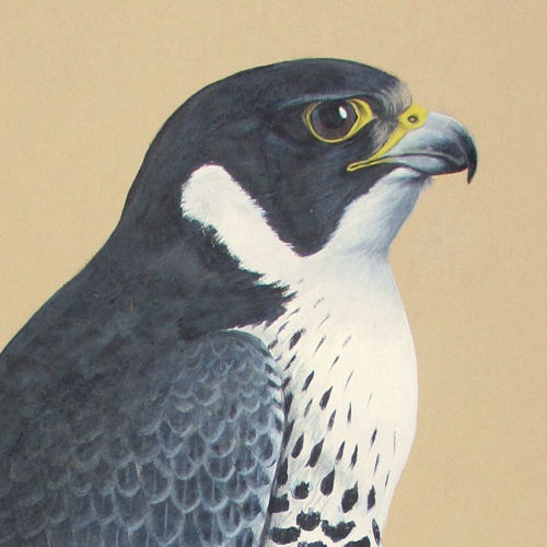 Peregrine Falcon head