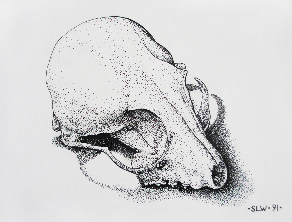 Ringtail skull