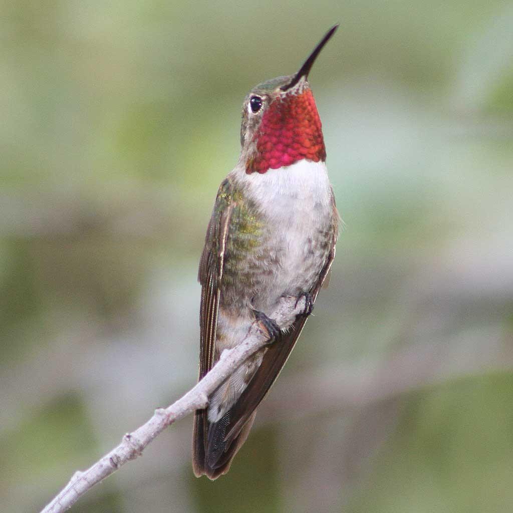feeding hummingbirds the dangers of red dye u2013 sheri l williamson