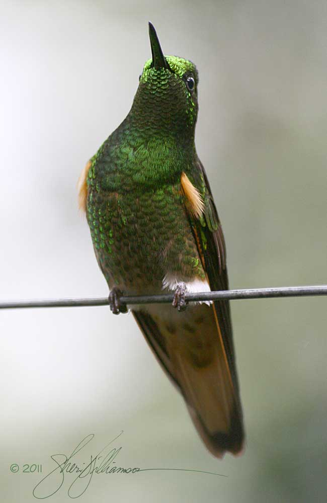 Male Buff-tailed Coronet, Ecuador.