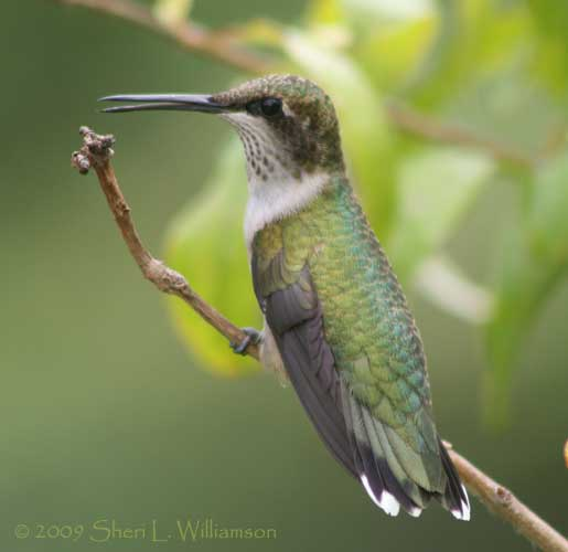 Juvenile male Ruby-throated Hummingbird, Texas.
