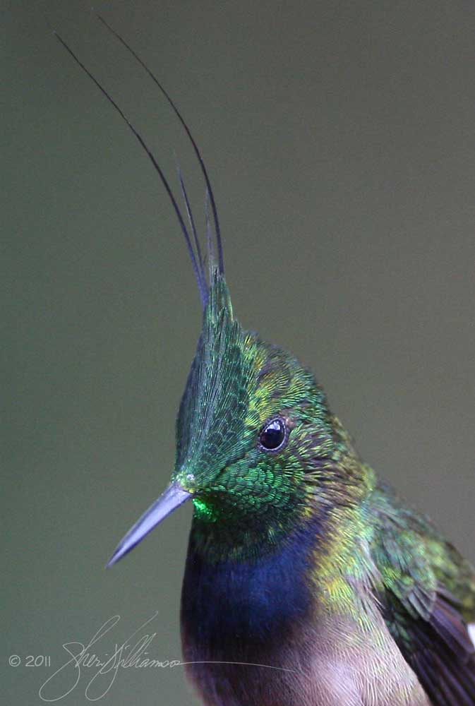 Male Wire-crested Thorntail, Ecuador.